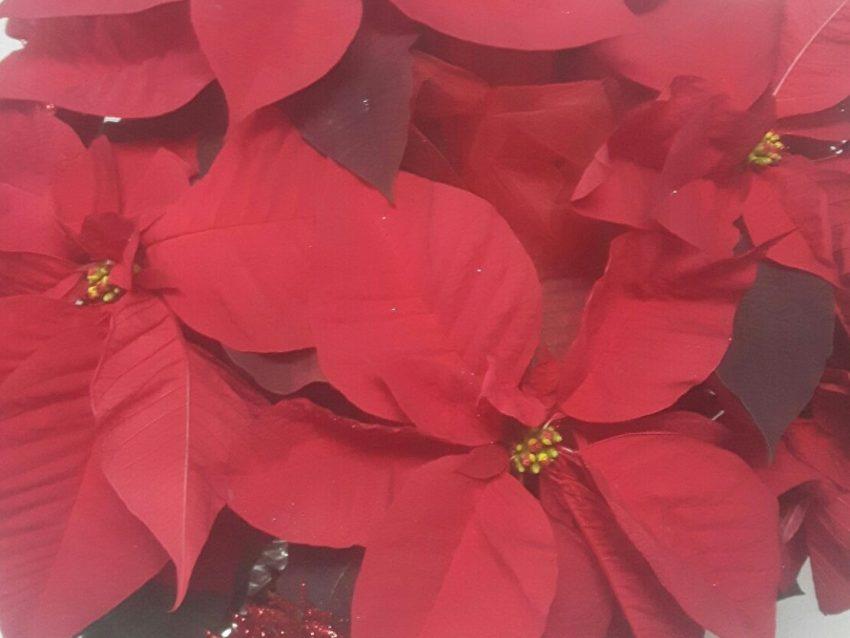 PERCHÈ SI REGALA LA STELLA DI NATALE? Storia e usi della pianta più venduta a Natale.